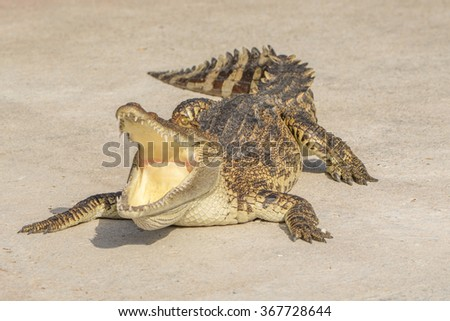 Crocodile or alligator or crocodile swamp, freshwater species are native to Thailand in Vietnam, Cambodia, Laos, Thailand, Kalimantan, Java and Sumatra is quite a big way medium sized crocodile. - stock photo
