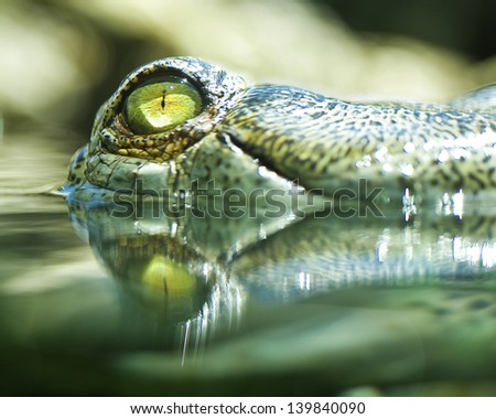 Crocodile peeking out of the water. - stock photo