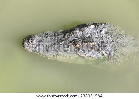 Crocodile peeking out of the water. - stock photo