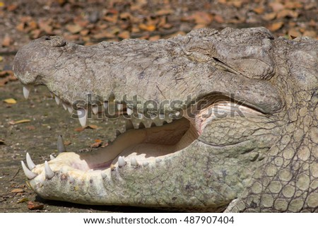 Crocodile resting in a zoo with open mouth.