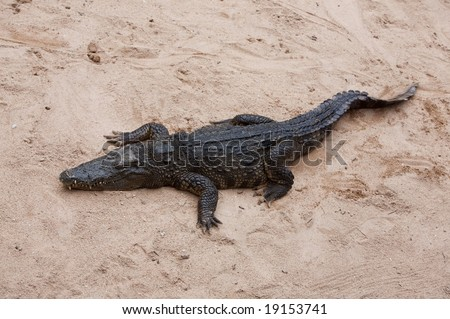 Crocodile resting on the sand