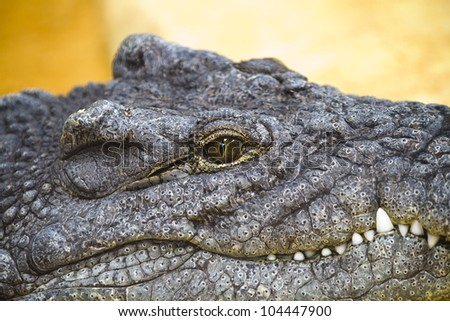 crocodile resting with eye details - stock photo