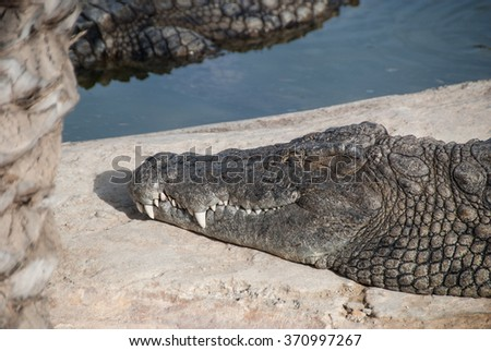 Crocodile sleeping near river in Tunisia