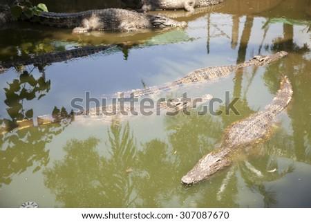 crocodile swimming in a local pond. - stock photo