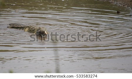 Crocodile swimming in water with half consumed baby calf in his mouth, the skull still visible. Kruger National Park, South Africa