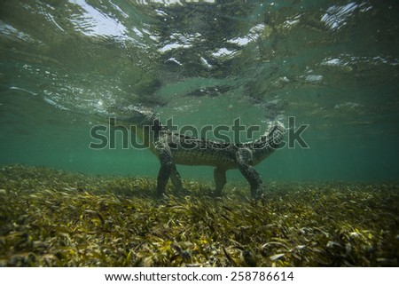 Crocodile under water - stock photo