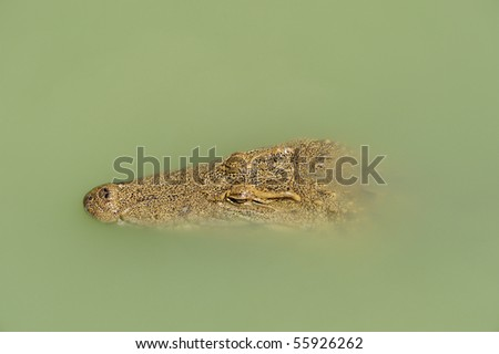 Crocodile waiting in the river, see only head - stock photo
