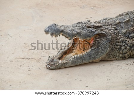 Crocodile with mouth wide open in Tunisia