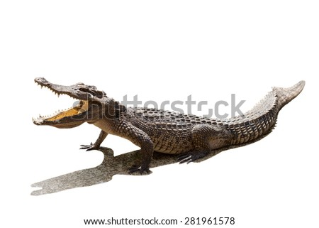 Crocodile with open mouth on white background.
