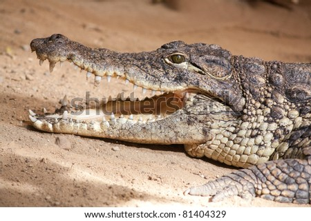 crocodile with opened mouth