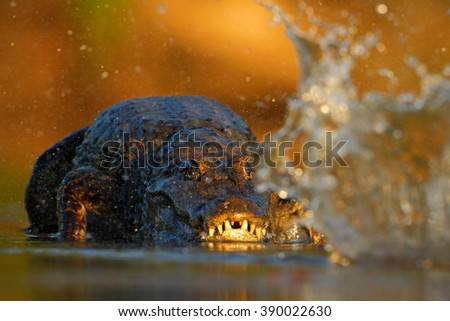 Crocodile Yacare Caiman, in the water with evening sun, animal in the nature habitat, action hunting scene, splash water, Pantanal, Brazil - stock photo