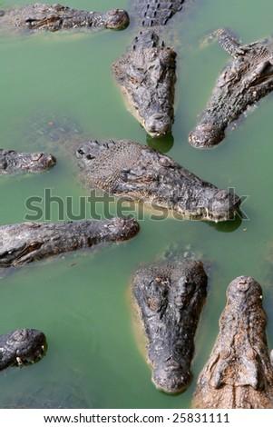 Crocodiles at crocodile farm - stock photo