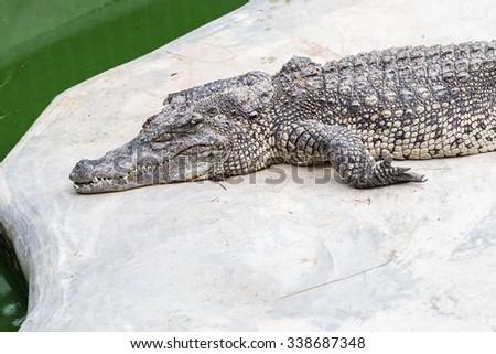 crocodiles at zoo - stock photo
