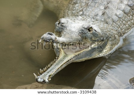 crocodiles from crocodile farm, Hamat Gader, Israel