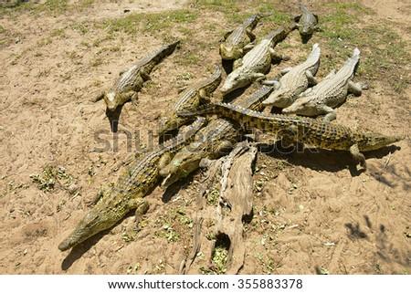 Crocodiles, Hluhluwe, South Africa - stock photo