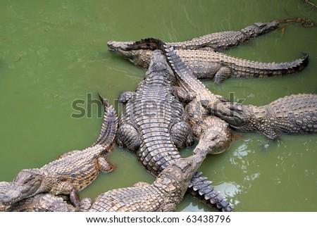 Crocodiles in greenish still waters. Shot in Madagascar. - stock photo