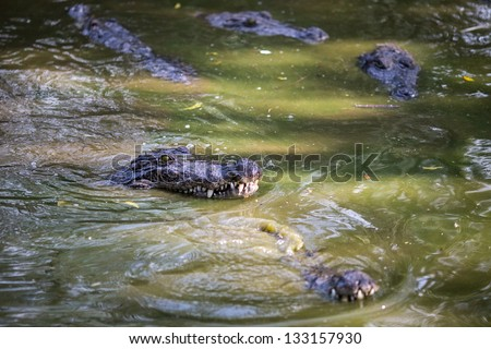 Crocodiles in the Indian Reserve - stock photo