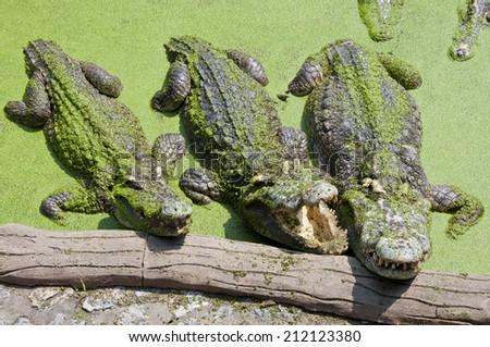 Crocodiles On the Pond - stock photo