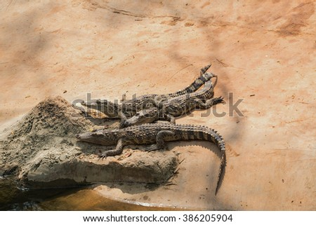 Crocodiles Resting In A Crocodiles Farm
