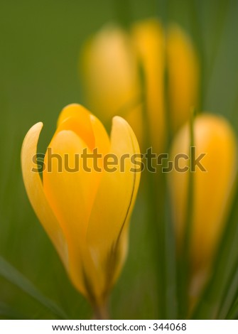 Crocus flower - stock photo
