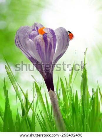 Crocus flower in dewy green grass and ladybird. Spring season. - stock photo