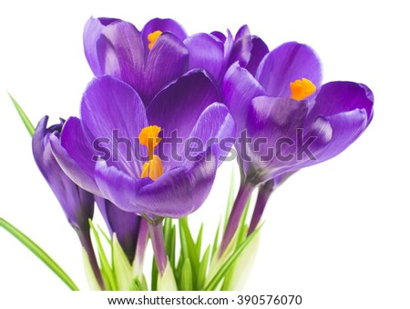 Crocus flower in the spring isolated on white (selective focus) - stock photo