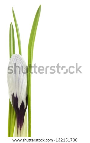 Crocus flower isolated on white with space for text