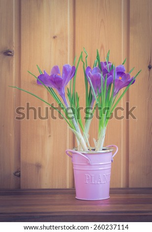 Crocus flowerpot on wooden background, selective focus