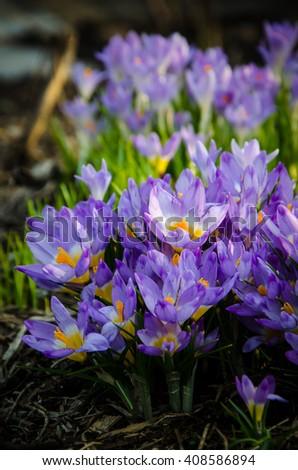 crocus flowers closeup  - stock photo