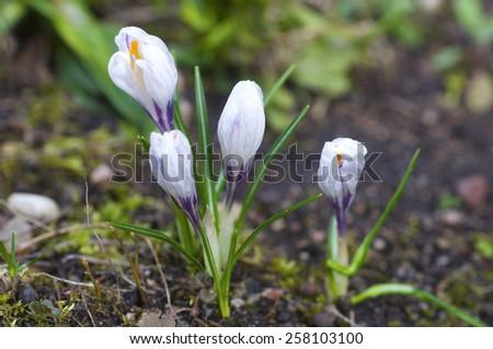 Crocus flowers growing in garden - stock photo