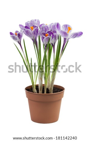 Crocus flowers isolated on white background