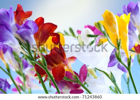 crocus flowers on blue sky with sun