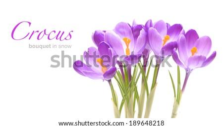 Crocus flowers on white - stock photo