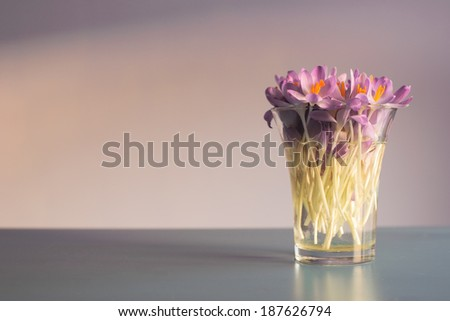Crocus in vase with copy space - stock photo