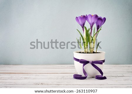 Crocus in vase with violet ribbon on blue background