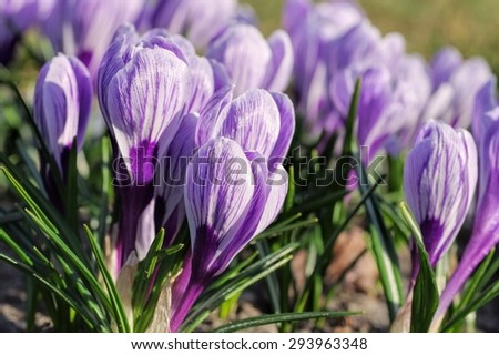 Crocus King of the Striped  - stock photo