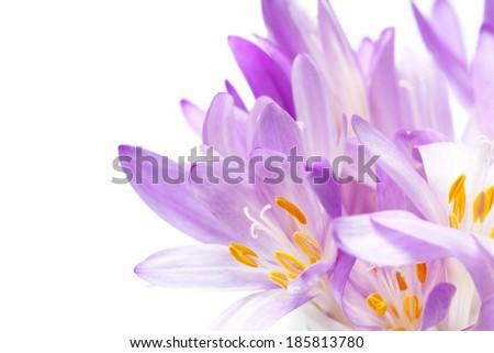 Crocus on white background. Fresh spring flowers - stock photo