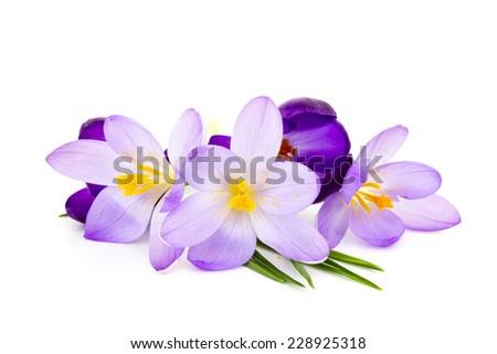 crocus on white background - fresh spring flowers - stock photo
