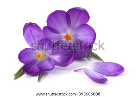 crocus on white background - fresh spring flowers - stock photo