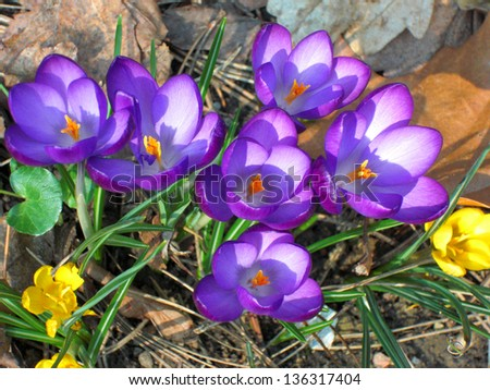 crocus Our garden is sheeted with crocuses in the spring - stock photo