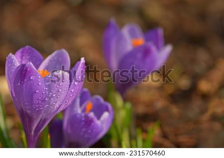 Crocus.  Saffron in spring.  - stock photo