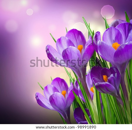 Crocus Spring Flowers - stock photo