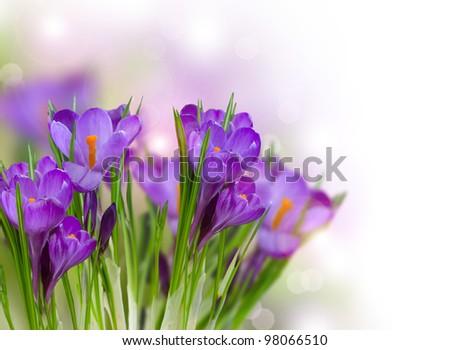 Crocus Spring Flowers art design - stock photo