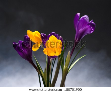 Crocus Spring Flowers on a dark background