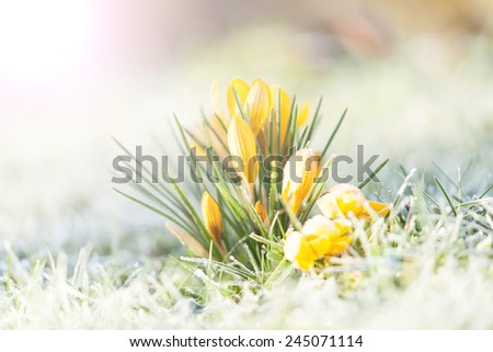 crocus yellow in the morning frost - stock photo