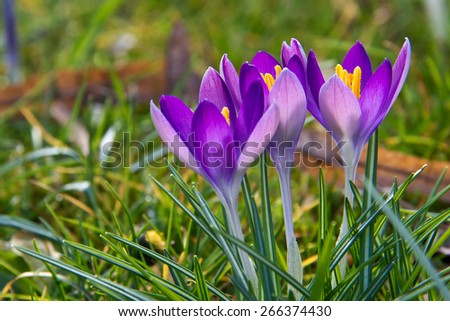 Crocuses/A group of crocuses in the grass - stock photo
