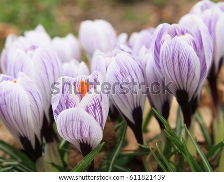 Crocuses blooming garden white purple striped stock photo royalty crocuses blooming in the garden white and purple striped crocus flower varieties stripes white mightylinksfo
