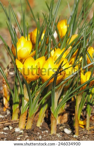 Crocuses blooming on a meadow