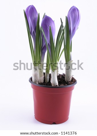 crocuses - buds - in pot on white background