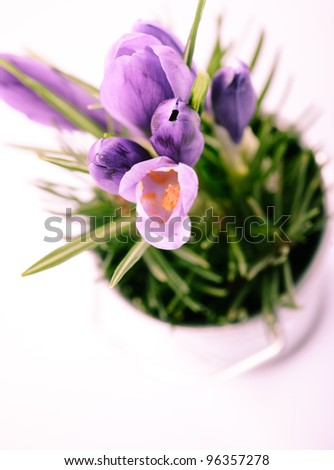 Crocuses closeup isolated on white background